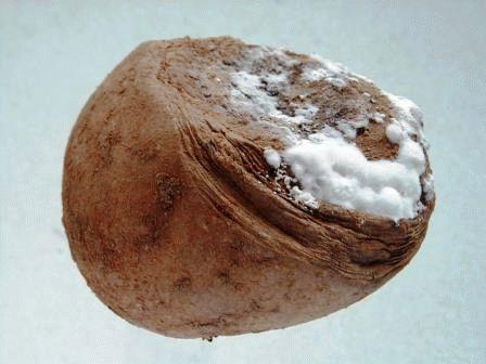 картофель сухая гниль фото