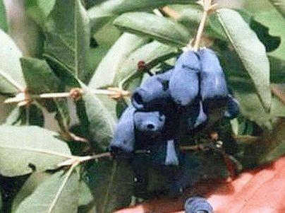 жимолость сорт Изюминка фото