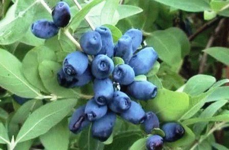 жимолость сорт Синичка фото