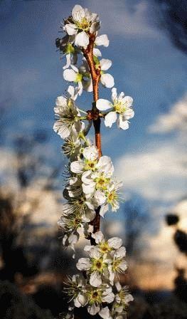 как посадить сливы весной фото
