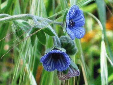 циноглоссум выращивание