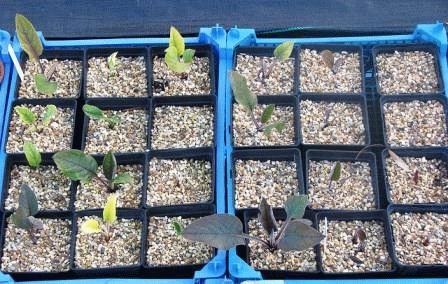 чернокорень выращивание из семян когда сажать