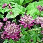 Астранция – сорта, посадка в саду, уход за цветком