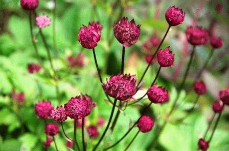 цветы астранция фото