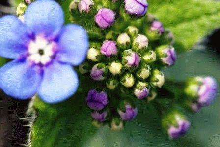 бруннеры фото цветов