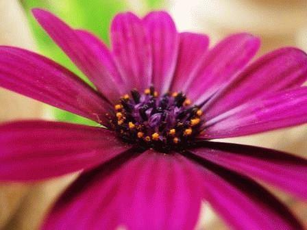 диморфотека выращивание и уход