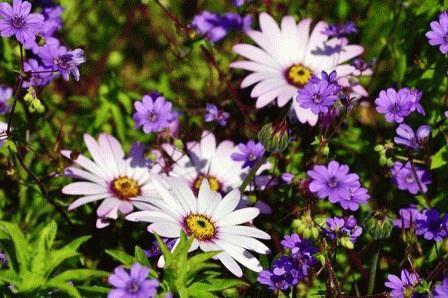 цветоводство диморфотека