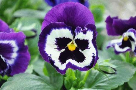 цветы анютины глазки двулетник фото