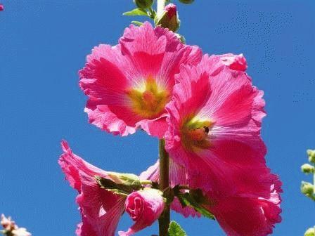 цветы Мальва двулетник фото