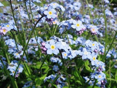 цветы Незабудка двулетник фото
