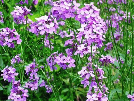 цветы Вечерница двулетник фото
