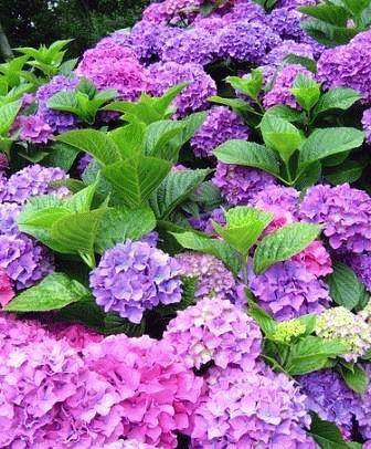 названия фиолетовых цветов