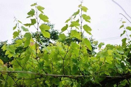 обрезка винограда в июне