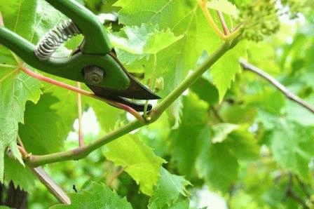 летняя обрезка винограда для начинающих