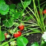Выращивание из семян земляника елизавета 60