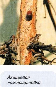 акациевая ложнощитовка вредители жимолости