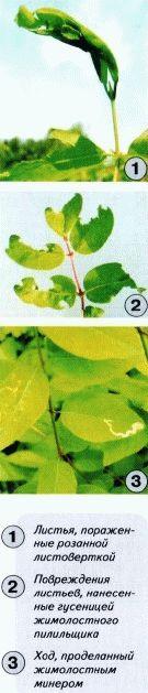 листогрызущие вредители жимолости