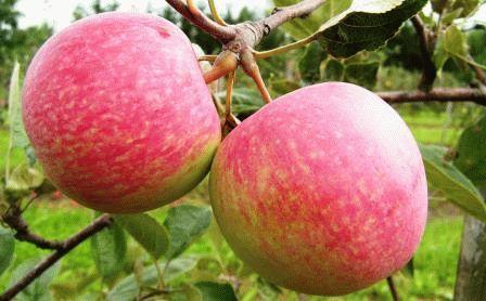 Яблоня фото