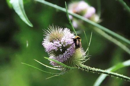дипсакус растение