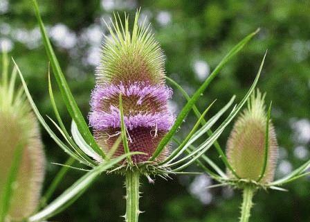дипсакус цветы