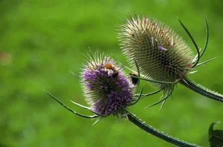 цветы ворсянка фото