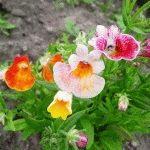 Немезия – виды цветов, сорта, выращивание из семян