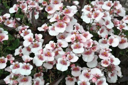 немезия цветы фото