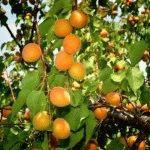 Лучшие сорта абрикосов для Подмосковья (средней полосы России) – описание, фото