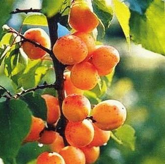 абрикос сорт АЛЕША фото