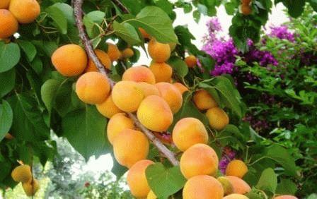 абрикос сорт АЙСБЕРГ фото