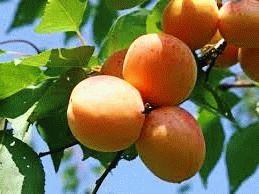 абрикос сорт ЦАРСКИЙ фото