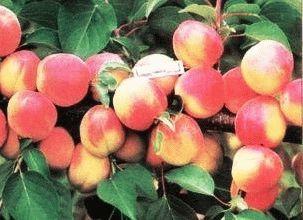 абрикос сорт ГВИАНИ фото