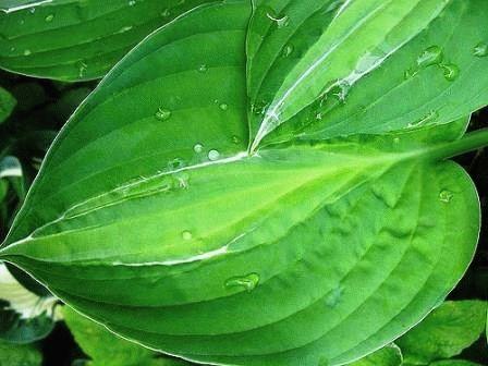 хоста болезни листьев