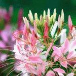 Клеома - фото, выращивание цветов из семян