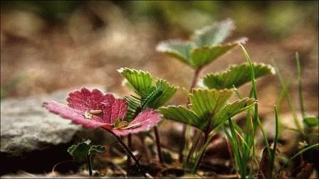 размножение кустов клубники