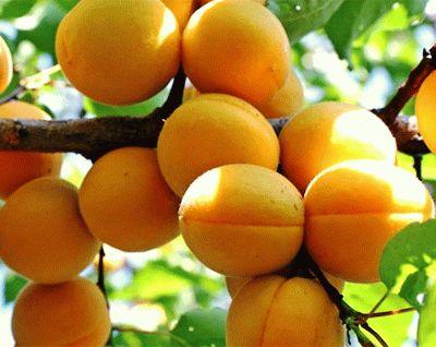 абрикос сорт ЛЕЛЬ фото