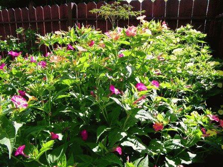 мирабилис выращивание из семян