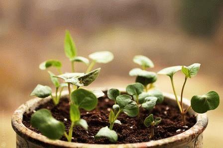 выращивании семенами