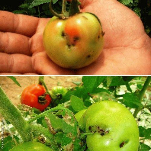 как бороться с томатной молью