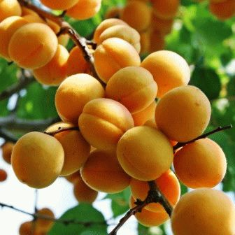 абрикос сорт ВОДОЛЕЙ фото