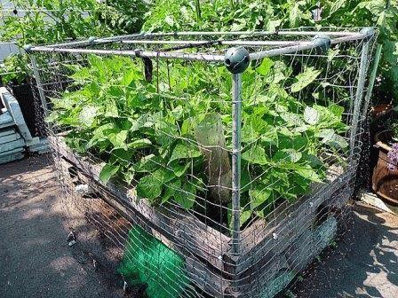 выращивание фасоли кустовой