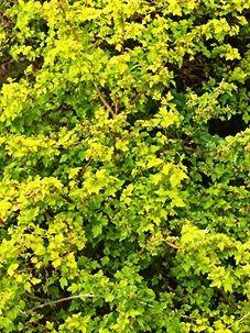 Смородина альпийская золотистая (Aureum)