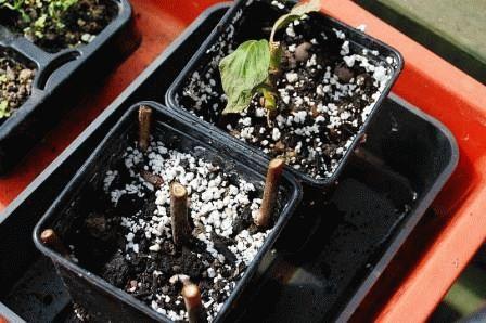 размножение актинидии черенками