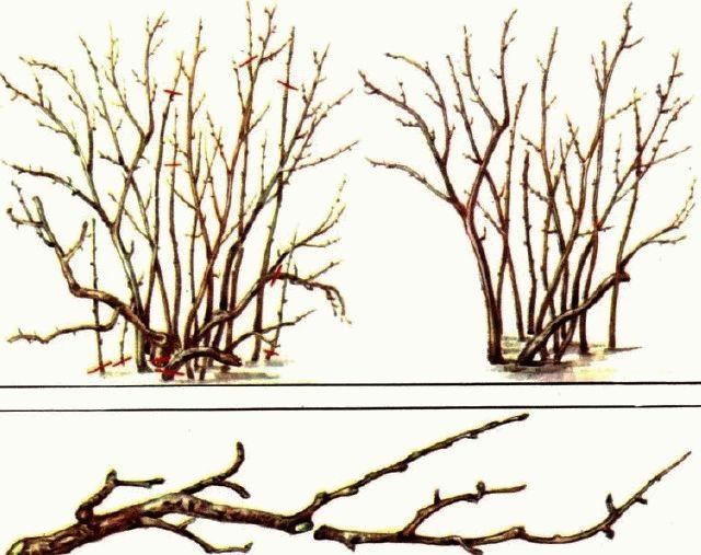 обрезка смородины осенью схема