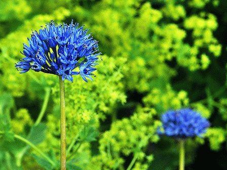 Allium caeruleum)