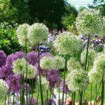 Декоративный лук: виды, посадка и уход за клумбой (аллярий)