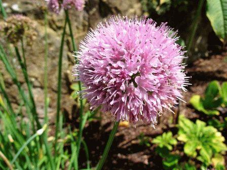 лук-слизун Allium nutans