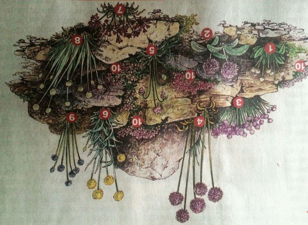 декоративный лук схема посадки