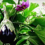 Плохой урожай баклажан – причины и ошибки