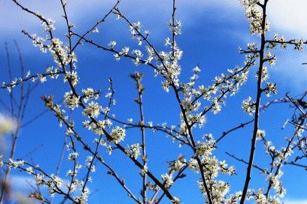 терн выращивание, цветение весной